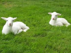 St. Croix lambs