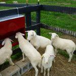 lambs02