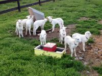 REGISTERED,RR, ST. CROIX LAMB AND YEARLING RAMS FOR SALE