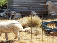 Maremma / Great Pyrenees LGD Puppies for sale from working parents
