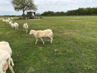 St croix lambs for sale Lake Charles Louisiana