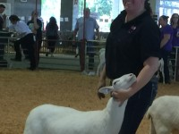 The Swans have Quality Registered St Croix sheep for sale