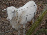 Registered St. Croix hair sheep ram for sale. 9 months old and looking for a few girlfriends.