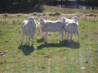 5 rams for sale