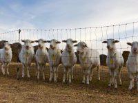 Ram Lambs (8-9 mths)