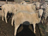 St. Croix Hair Sheep Rams