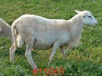 St. Croix sheep - Ram lambs