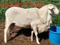 Hair Sheep Breeding Trio - Registered St. Croix