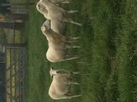 Registered St.Croix ewes