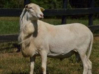 REGISTERED,RR, ST. CROIX LAMBS AND YEARLING RAMS FOR SALE