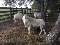 MATURE RAMS FOR SALE: Born April 2017