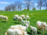 SPRING LAMBS AND EWES WITH LAMBS