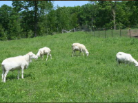 Registered St. Croix Sheep for Sale, Reserve your weaned Ewe Lamb