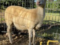 4 , St. Croix  Ram Weanlings for sale